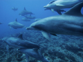 dolphins_-_underwater_backgrounds